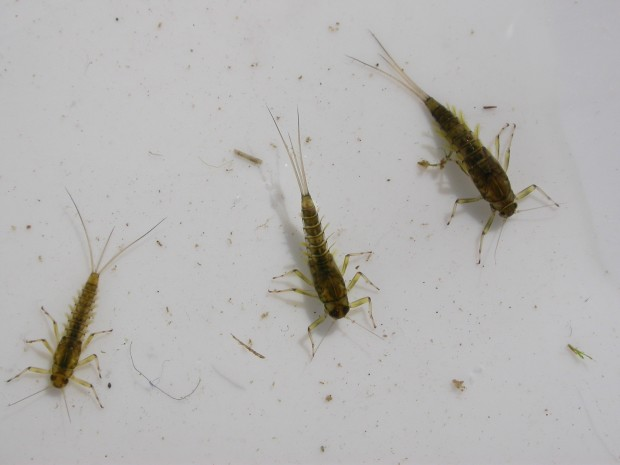 Baetis Mayflies from Rapid Creek
