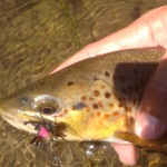 black hills brown trout cricket