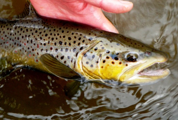 Black Hills Fall Brown Trout
