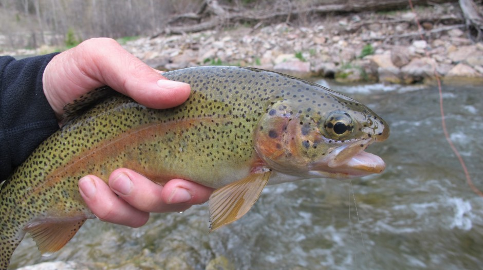 Spearfish Canyon Rainbow Trout Fishing