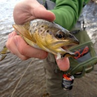 BWO Black Hills Brown