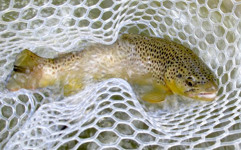 Brown trout in net black hills fishing flyfishing