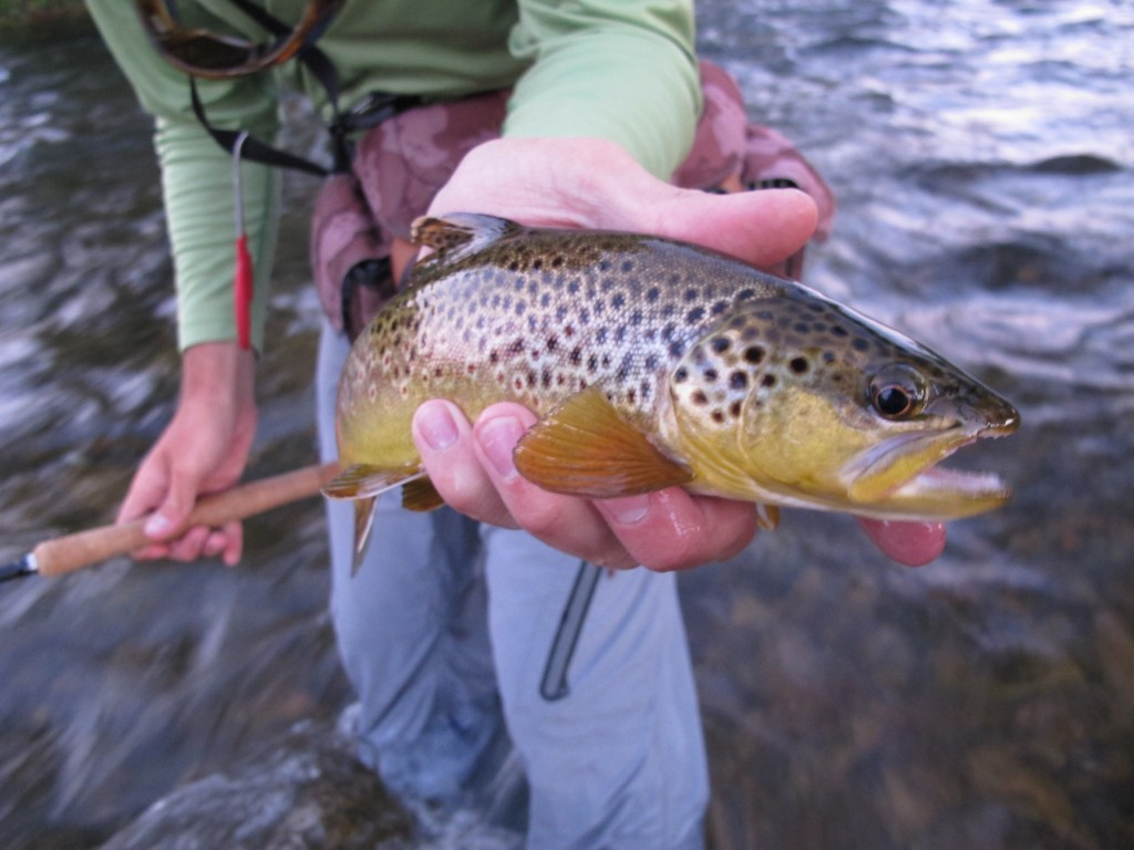 Tons of nice fish in Rapid Creek through town right now!