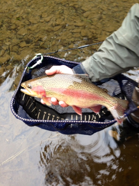 Stout Rainbow from our guide Dave Gamet