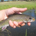 Another Slate Creek Brookie