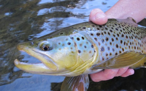 Black Hills Brown Trout Fall Fly Fishing Report