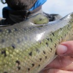 idaho steelhead adipose