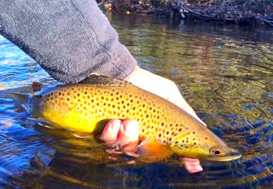 rapid creek brown trout fall