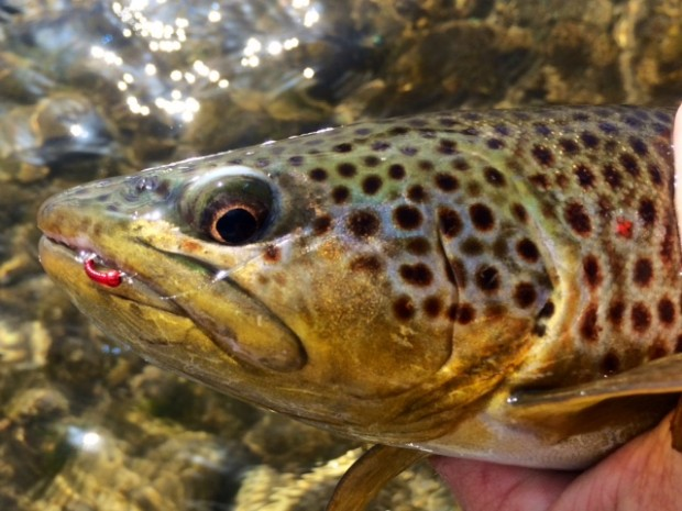 dave gamet brown trout black hills