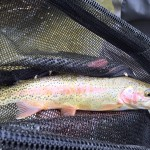 Spearfish Creek Black Hills Rainbow Trout Fly Fishing