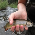 Black Hills Fly Fishing August 2015 Brook Trout
