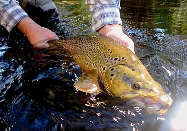 Rapid Creek brown from yesterday!