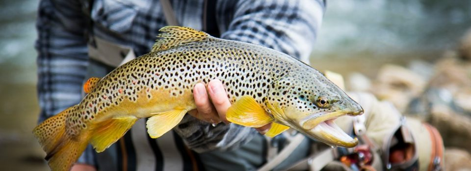 black hills brown trout