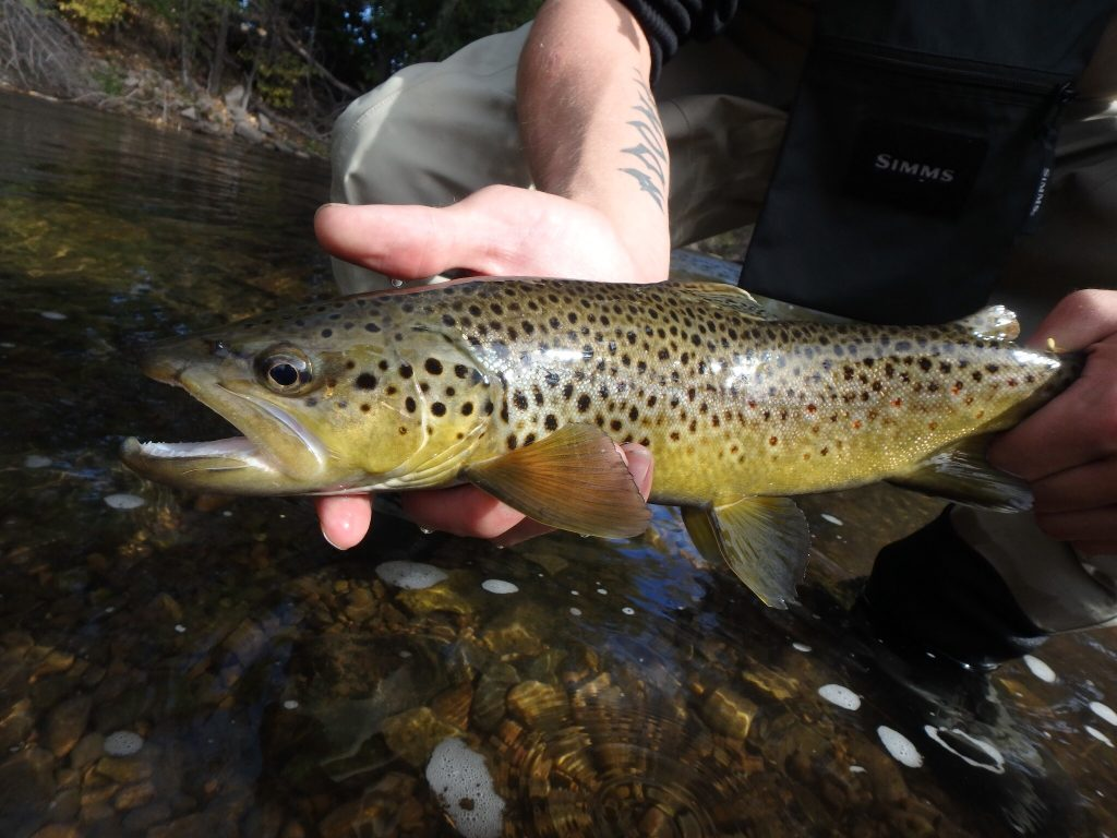 Solid In Town Brown Trout!