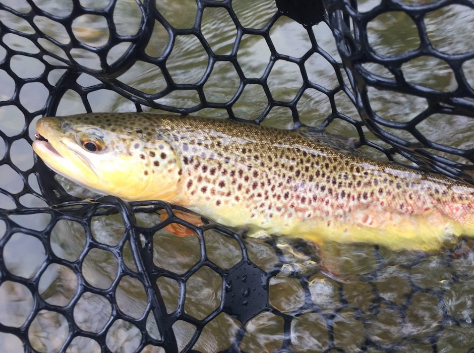 Black hills fishing report july 17th 2018 brown trout flyfishing fly spearfish creek rapid