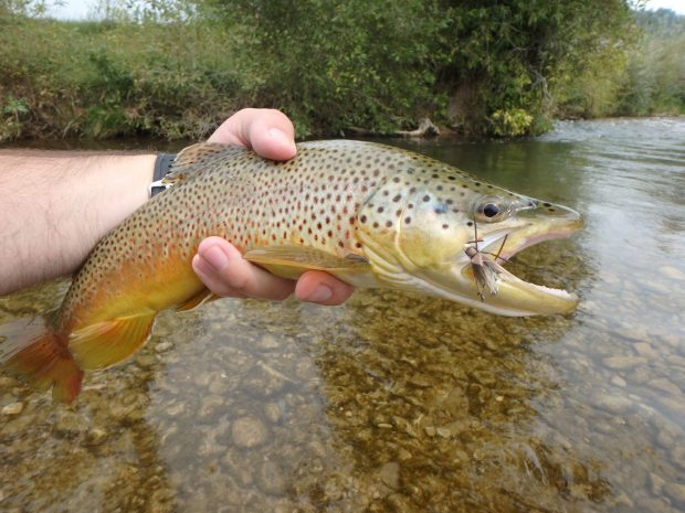 brown trout hopper black hills south dakota fly fishing 2018